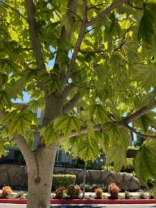 chlorosis_leaves