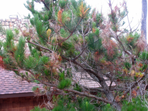 pine_pitch_canker