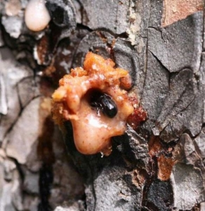 pine_bark_beetle