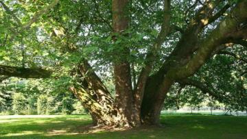 london_plane_tree