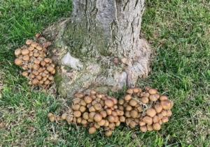 honey_fungus
