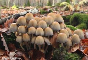 mica_cap_mushroom
