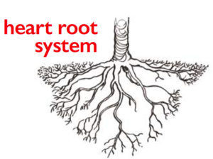 heart_root_system