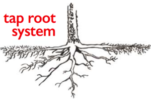 tap_root_system