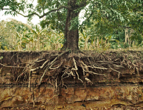 3 Types of Tree Root Systems